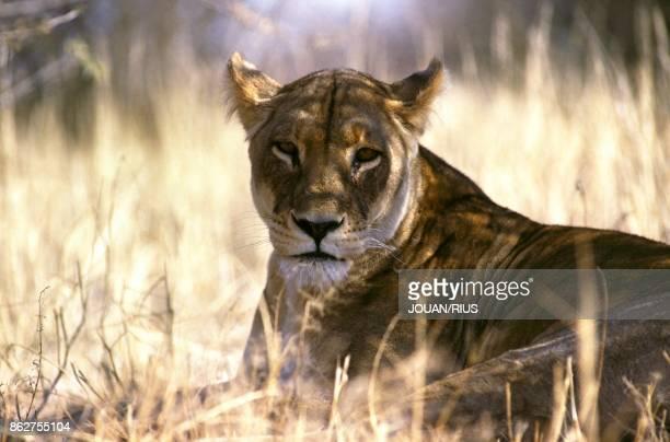 Lionne dans le Parc Kalahari Gemsbok Afrique du Sud