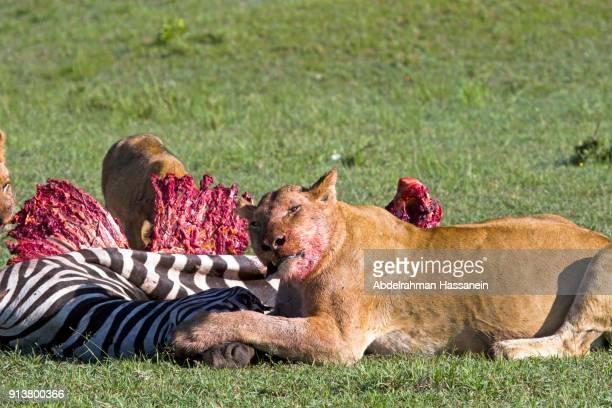 Lionrss hunt