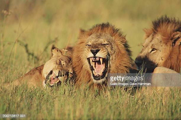 Lions and lioness (Panthera leo) lying in field