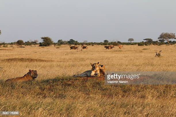 Lions and Oryxes