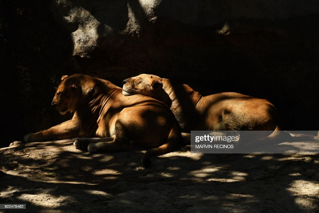 Lions are seen at the National Zoo in San Salvador on February 21, 2018. /