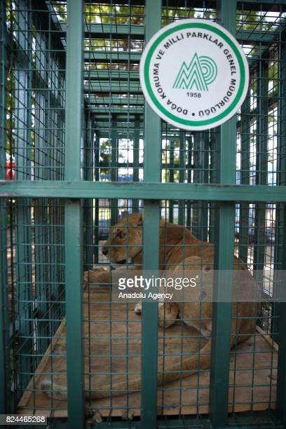 Lions are seen in their cages after transferred from Syria to Bursa Turkey on July 30 2017 Heavily innjured two more lions and two dogs one of them...