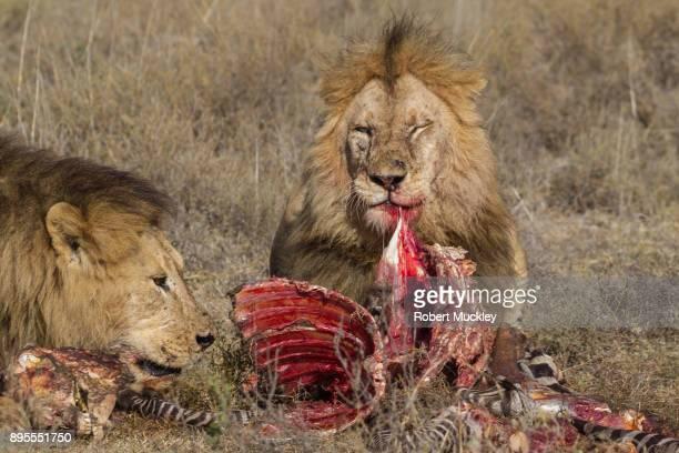 lions at lunch - lion feline fotografías e imágenes de stock
