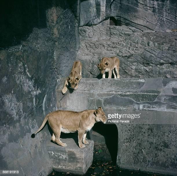 Lions at the Tierpark Hagenbeck in Stellingen, Hamburg, Germany, circa 1965.