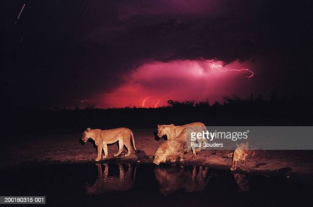 Lions (Panthera leo) at watering hole during lightning storm, night