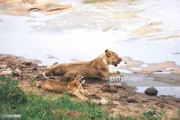 lions by the lake - tarangire national park stock pictures, royalty-free photos & images