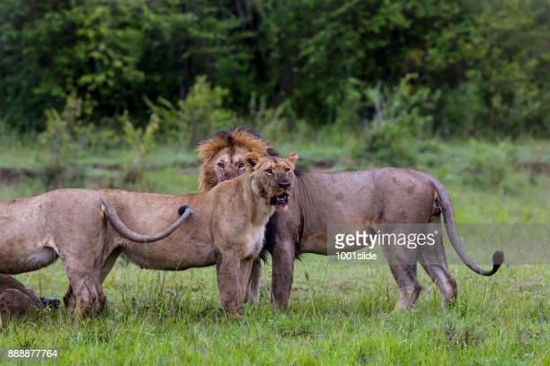 Lions Eating Freshly Eating Buffalo
