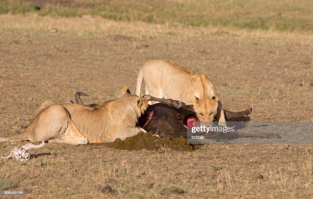 Lions eating from a gnu in Masai Mara , Olare Motorogi Conservancy, Kenya, East Africa, Africa, : Stock Photo