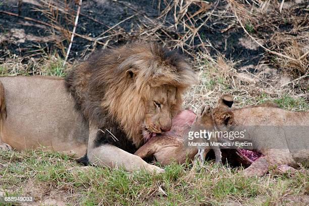 Lions Eating Hunted Animal In South Africa