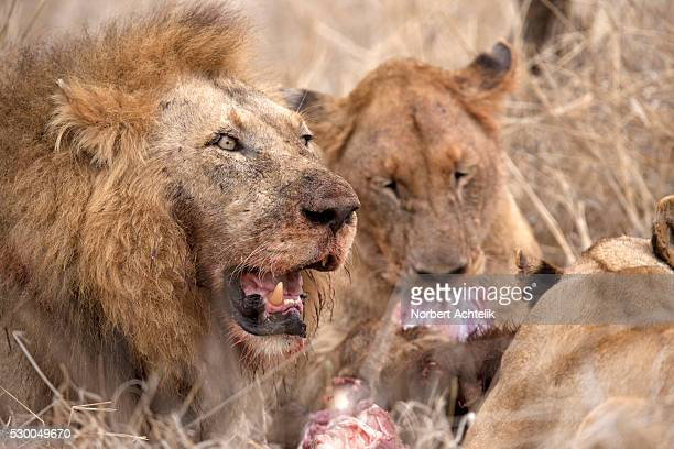 Lions (Panthera leo) eating its prey, Kruger National Park, South Africa