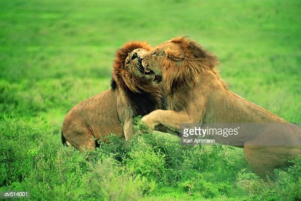 Lions fighting (Panthera leo)
