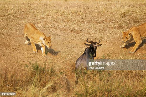 Lions Hunting a Wildebeest