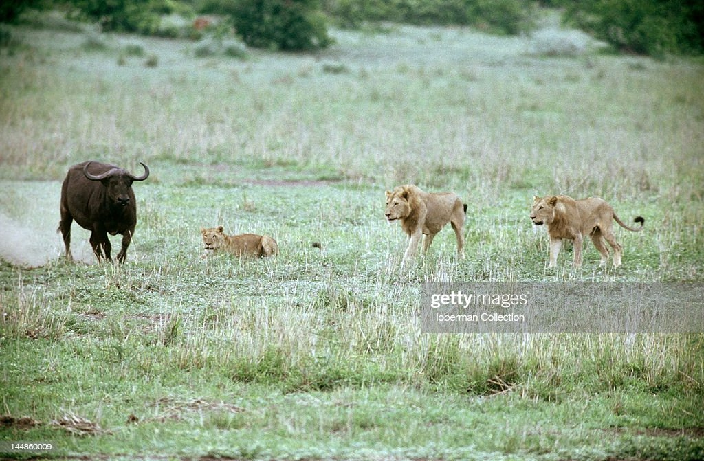Lions Hunting Buffalo, South Africa News Photo | Getty Images