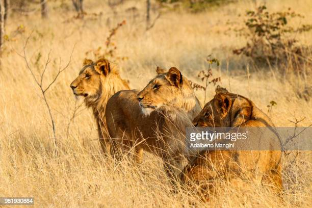 lions hunting in the savannah of zambia, - ザンビア ストックフォトと画像