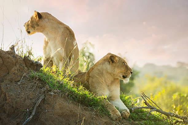 Lions in Kruger Wildlife Reserve