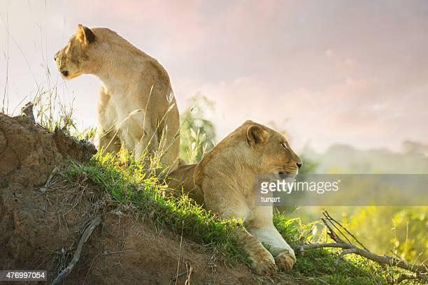 lions in kruger wildlife reserve - kruger national park stock pictures, royalty-free photos & images