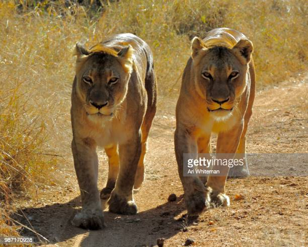 Lions in Stride