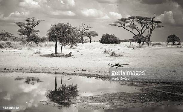 lions in the shade black and white - serengeti national park, tanzania - lion attack stock pictures, royalty-free photos & images