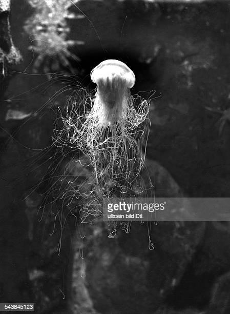 Lion's jellyfish 1956 Photographer Franz Schensky Vintage property of ullstein bild