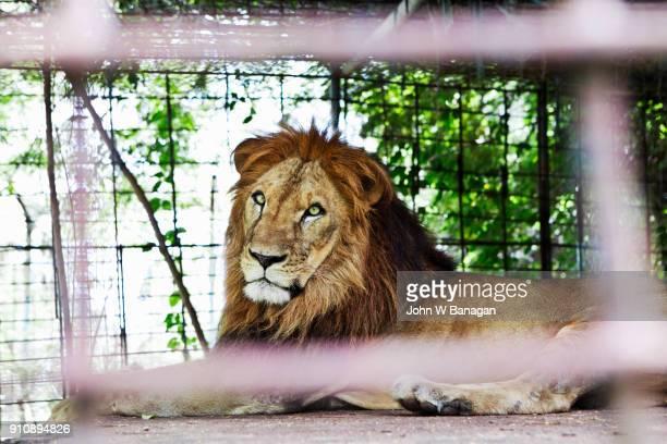 lions , kampot - animales en cautiverio fotografías e imágenes de stock