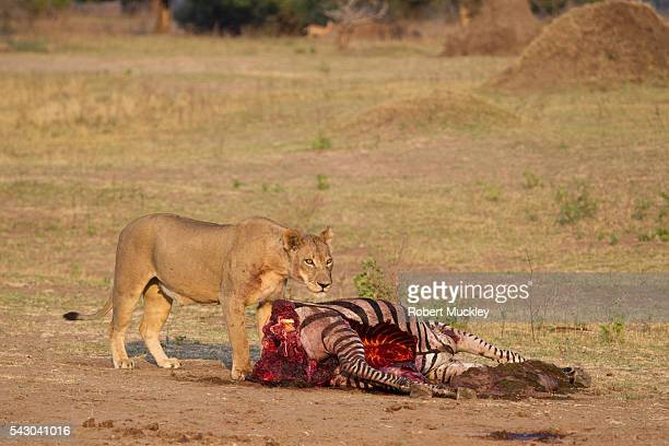 A Lion's Lunch