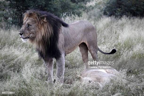 Lions, Madikwe Game Reserve, South Africa.