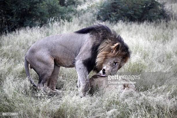 Lions, Madikwe Game Reserve, South Africa. The male is preparing to mate with the female who is lying down.