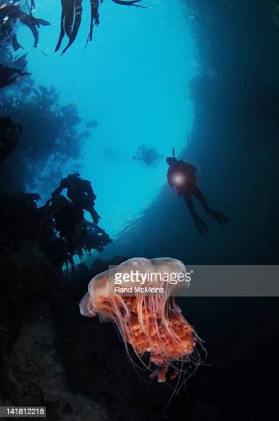 lions mane and diver - lions mane jellyfish stock pictures, royalty-free photos & images