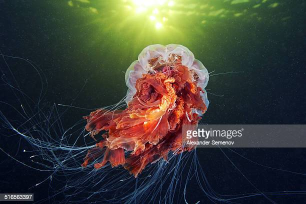 lion's mane jellyfish - cyanea capillata - lions mane jellyfish stock pictures, royalty-free photos & images