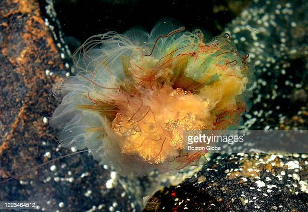 Lion's Mane jellyfish lights up as a defense mechanism as it floats upside down in the water of Scituate Harbor as it passed in the current of high...
