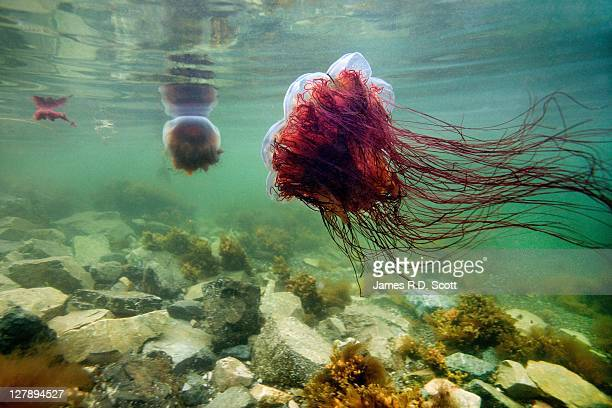 lions mane jellyfish - lions mane jellyfish stock pictures, royalty-free photos & images