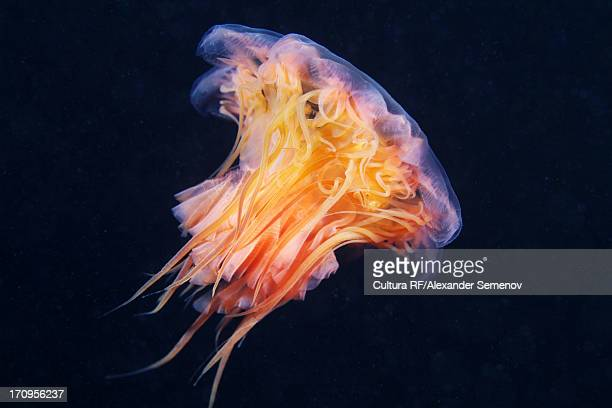 lion's mane jellyfish (cyanea capillata) - lions mane jellyfish stock pictures, royalty-free photos & images