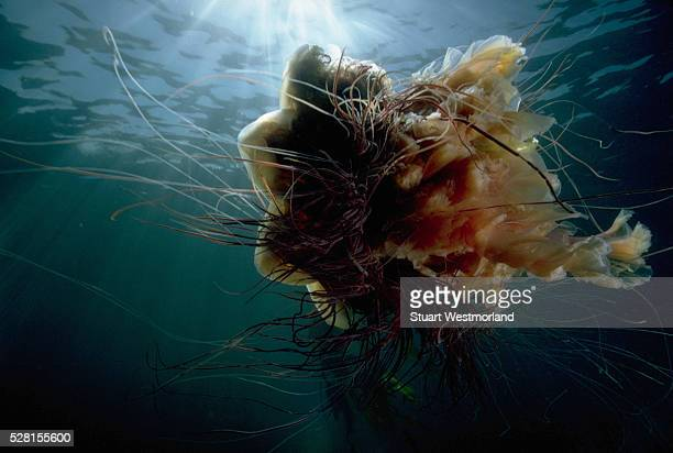 lion's mane jellyfish - lions mane jellyfish stock pictures, royalty-free photos & images