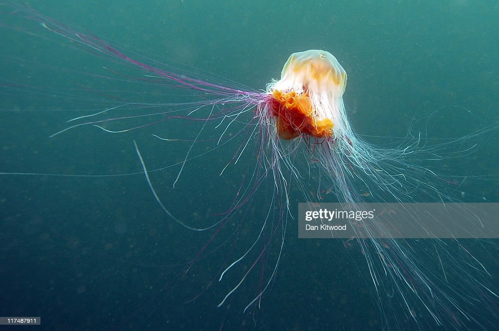 A Lion's Mane jellyfish swims beneath the waters of Inner Farne on June 24, 2011 at the Farne Islands, England. The Farne Islands, which are run by the National Trust, are situated two to three miles off the Northumberland coastline. The archipeligo of 16-28 separate islands (depending on the tide) make the summer home to approximately 100,000 pairs of breeding seabirds including around 36,000 Puffins, 32,000 Guillemots and 2,000 pairs of Arctic Terns. The species of birds which nest in internationally important numbers include Shag, Sandwich Tern and Arctic Tern. The coastline around The Farnes are also the breeding ground to one of Europe's largest Grey Seal colonies with around 4,000 adults giving birth to 1500 pups every year.