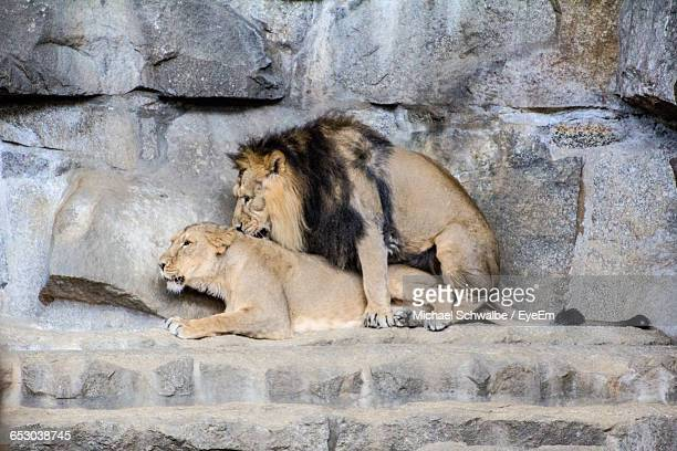 Lions Mating Against Rocks At Zoo