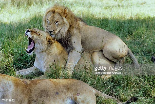 Lions mating at the Munda Wanga Wildlife Sanctuary near Lusaka in Zambia June 2002