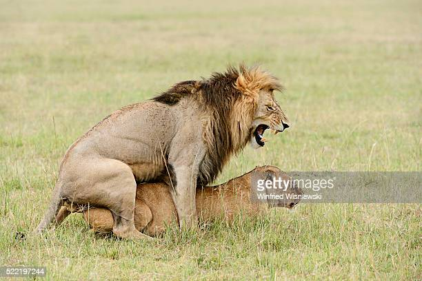 Lions Having Sex Stock Photos And Pictures