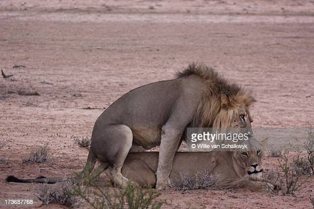 Lions mating in the Kgalagadi
