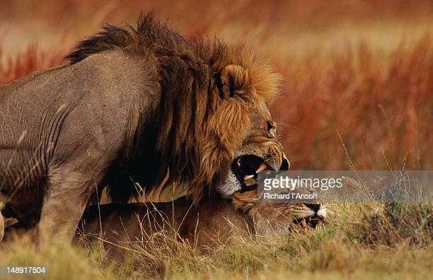 Lions mating in the Moremi Wildlife Reserve.