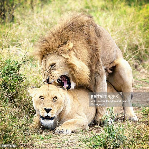 lions mating in the ngorongoro crater, tanzania, africa - bot fly stock photos and pictures