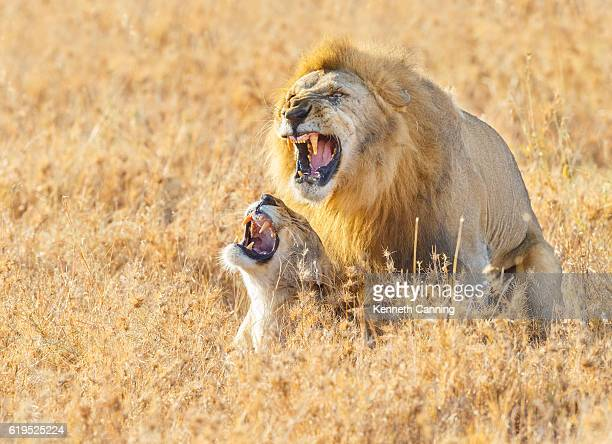 lions mating in the serengeti savanna, tanzania africa - begattung kopulation paarung stock-fotos und bilder