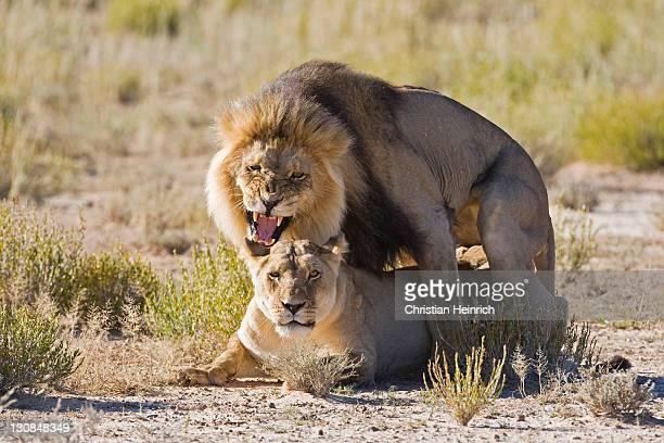Lions (Panthera leo) mating, Kgalagadi Transfrontier National Park Gemsbok National Park, South Africa, Botswana, Africa