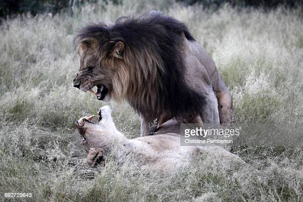 Lions mating, Madikwe Game Reserve, South Africa.