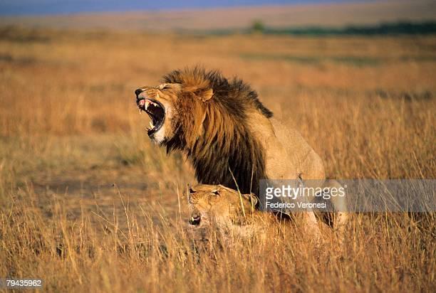 Lions (Panthero Leo) mating, Masai Mara, Kenya, Africa