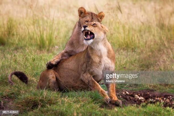 Lions mating, Masai Mara, Kenya