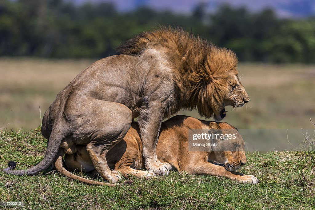 Lions mating : Stock Photo
