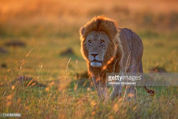 lions of masai mara - lion feline stock pictures, royalty-free photos & images