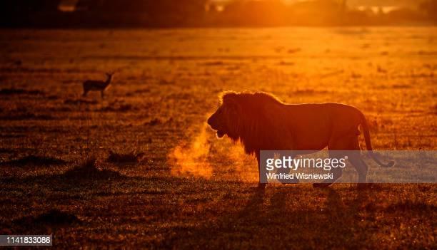 lions of masai mara - afrika afrika stock pictures, royalty-free photos & images