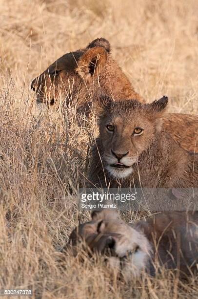 lions (panthera leo), okavango delta, botswana, africa - safari animals stock pictures, royalty-free photos & images