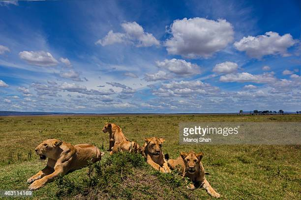 Lions on a mound